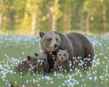 Mother Bear And Her Three Cubs In The Middle Of The Cotton Grass In A Finnish Bog