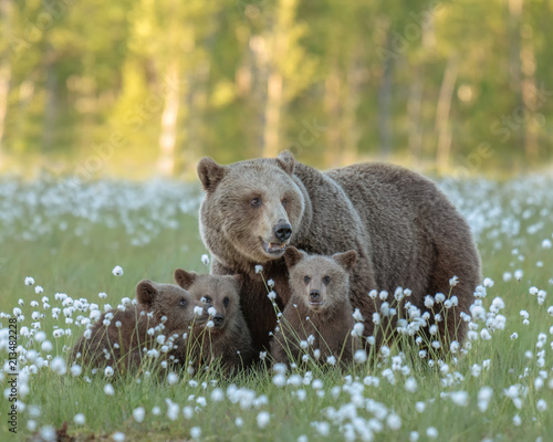 Mother bear and her three cubs in the middle of the cotton grass in a Finnish bo Tableau sur Toile