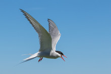 Arctic Tern Agressively Defending Her Nest