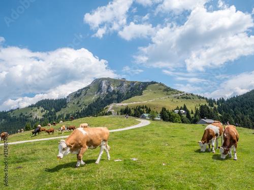 Keuken foto achterwand Europa Kühe auf einer Alm ich Salzkammergut