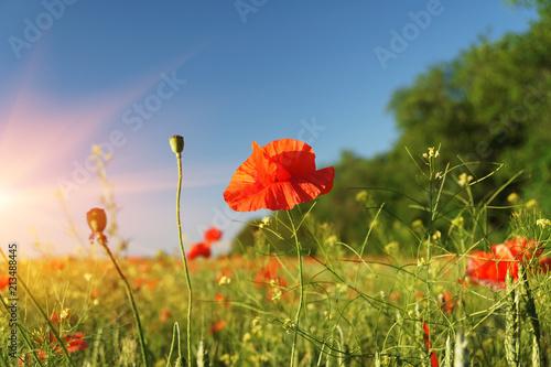 Fototapeta Field of poppies against the setting sun obraz na płótnie