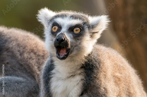 Surprised ring-tailed lemur or lemur catta with open mouth and eyes wide open Canvas Print