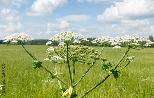 Obraz na plátně  cow parsnip blooms on a meadow in summer.