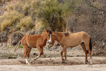 Wild Horses Sparring In The Arizona Desert