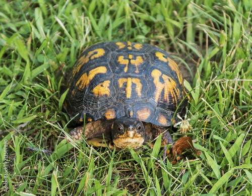 Box turtle looking into camera close up