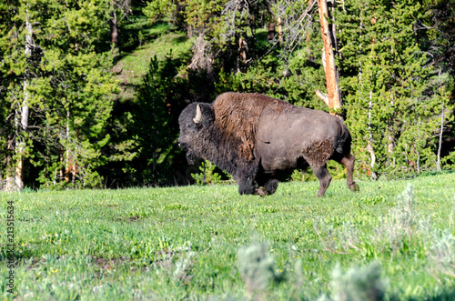 Foto op Canvas Bison Bison running on the grass in Yellowstone National Park