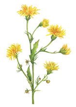 Branch With Yellow Flowers Of Wild Plant Sonchus Arvensis (also Known As Field Milk Thistle, Sow-thistle, Dindle, Gutweed). Watercolor Hand Drawn Painting Illustration Isolated On A White Background.
