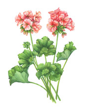 Branch With Pale Pink Flower Of Garden Plant Zonal Pelargonium (also Known As Geranium, Storksbill, Cranesbill). Watercolor Hand Drawn Painting Illustration Isolated On A White Background.