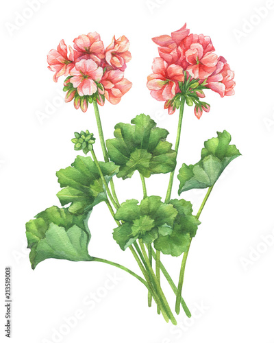 Photo Branch with pale pink flower of garden plant Zonal pelargonium (also known as geranium, storksbill, cranesbill)