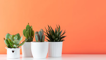 Collection Of Various Cactus And Succulent Plants In Different Pots. Potted Cactus House Plants On White Shelf Against Coral Orange Colored Wall.