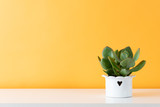 Succulent plant in white pot. Potted succulent house plant on white shelf against pastel mustard colored wall.
