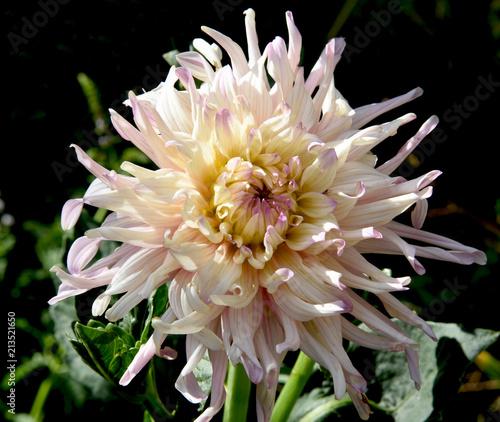isolated luxury dahlia at garden