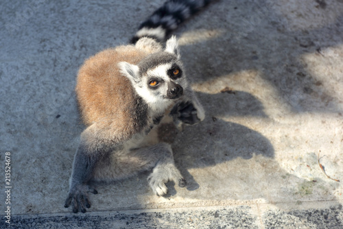 Photo  Animals - funny ring-tailed lemur in a zoo