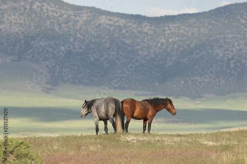 Wild Horses in the Utah Desert in Summer