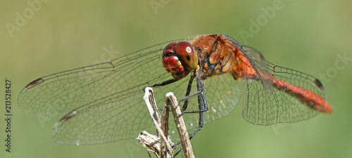 Fotografia, Obraz Ruddy darter (Sympetrum sanguineum)