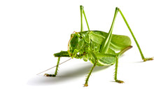 Big Green Grasshopper On White...