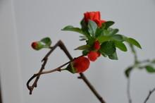 Macro Red Flower Bud Japan Bon...