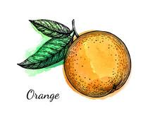 Ink Sketch Of Orange On Watercolor Background.