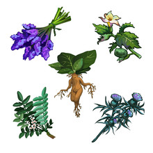 Set Of Noxious Plants Isolated On White Background. Ingredients For Magical Potions. Common Yew Or Taxus Baccata, Mandrake Root, Thornapple Or Datura Stramonium, Milk Thistle Or Silybum Marianum