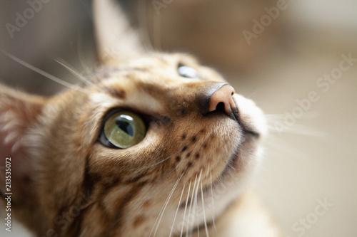 Cute bengal cat portrait Canvas Print
