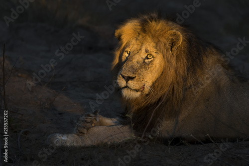 Spoed Foto op Canvas Leeuw Adult lion male with huge mane resting and waiting in gathering darkness
