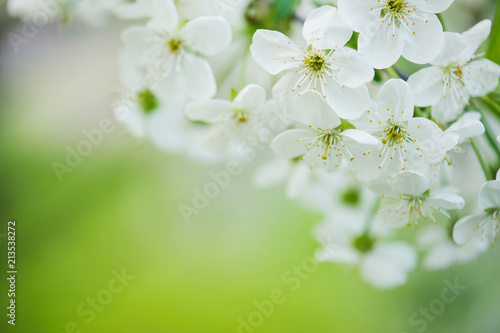 Tableau sur Toile Blossoming of cherry flowers in spring time with green leaves, macro
