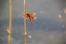 Flame Skimmer Dragonfly 10