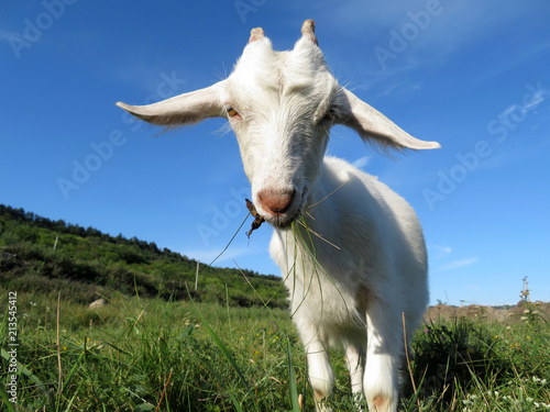 A little white goat grazing in a summer mountain meadow Canvas Print