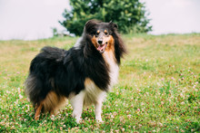 Rough Collie, Scottish Collie, Long-Haired Collie, English Collie