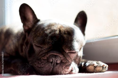 Poster Bouledogue français Close up black french bulldog sleeping near the window