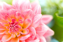 Light Pink Dahlias With Drops ...