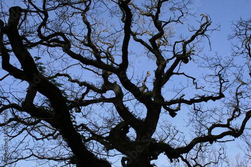 Fototapeta  Gnarly Tree
