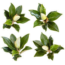 Collection Of Magnolia Flower Buds Isolated