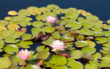Lily Pads And Flowers On A Pon...
