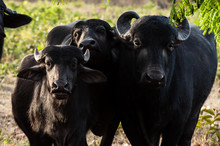 Family Of Buffaloes Under A Tr...