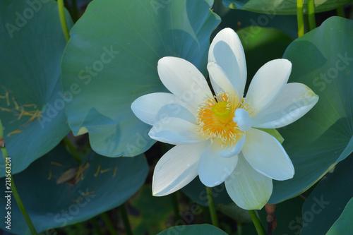 Foto op Canvas Lotusbloem ハスの花