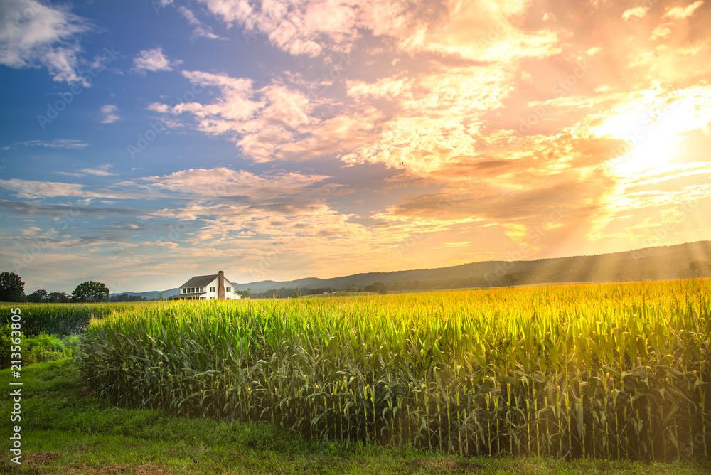 Fototapeta Vibrant sunset in corn field with sun rays