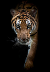 Fototapeta Nowoczesny Close-Up tiger.