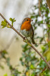 European robin (Erithacus rubecula) catching an insect in its bi