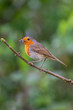 European robin (Erithacus rubecula) catching an insect in its bills