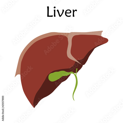 Human Liver Anatomy Vector Illustration White Background Buy