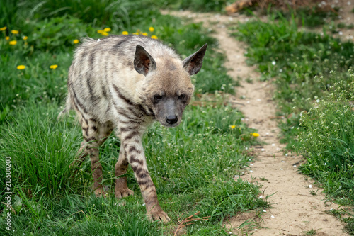 Tuinposter Hyena Striped hyena (Hyaena hyaena sultana)