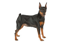 Miniature Pinscher Dog Isolated On White Background