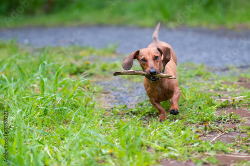 dachshund dog run and jump Wallpaper Mural