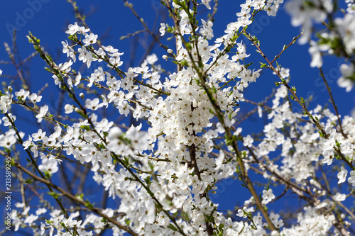 Fotografie, Obraz  snow-white cherry blossoms