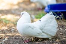 White Doves On The Ground