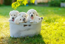 Puppies Siblings With Soft White Hair Sitting In The Cramped Basket Summer On The Lawn