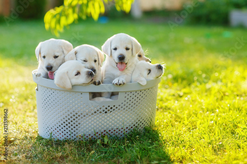 Obraz na plátně puppies siblings with soft white hair sitting in the cramped basket summer on th