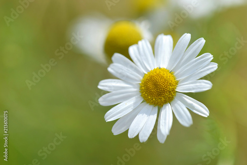 Foto op Plexiglas Madeliefjes close on white daisy blooming on green background