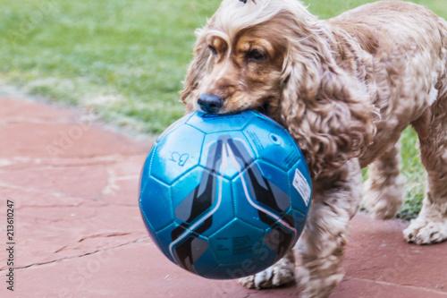 Foto  Cachorro segurando bola azul